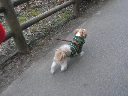 公園を歩くシーズー犬のぽんず