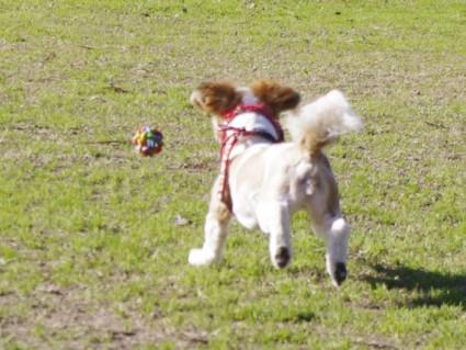 シーズー犬とボール投げ