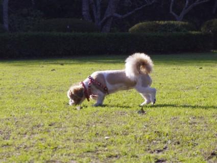 草原とシーズー犬