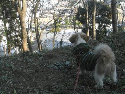 茂原公園で遊ぶシーズー犬「ぽんず」