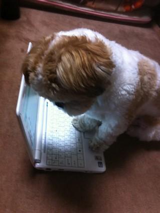 シーズー犬ぽんず、パソコン研修中