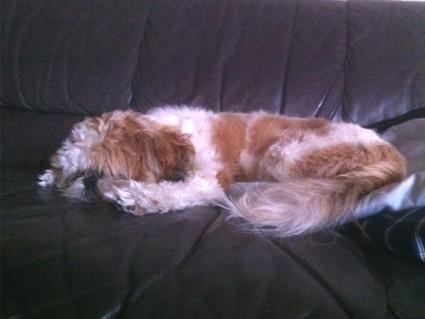 平べったくなって寝ているシー・ズー犬の、ぽんず