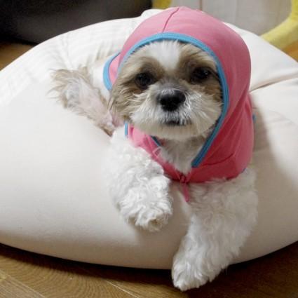 ピンクのシーズー犬!