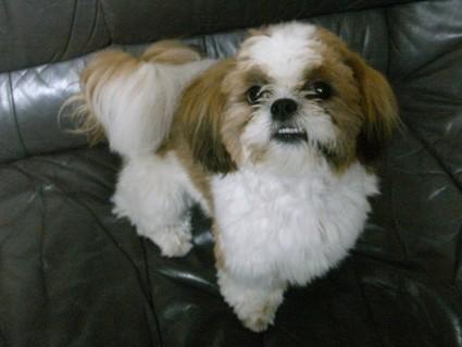 ソファの上のシーズー犬ぽんず