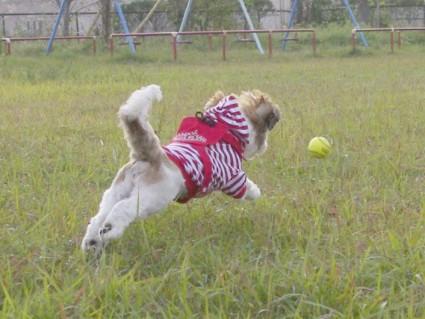シーズー犬「ぽんず」と公園で遊ぶ