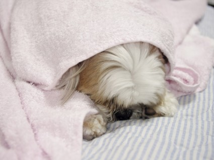 バスタオルにくるまって寝ているシーズー犬