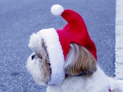 2011年クリスマス、シーズー犬サンタ「ぽんず」