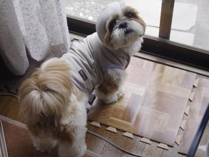 シーズー犬、ぽんず星人