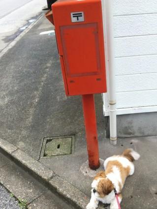 郵便ポストが好きなシーズー犬