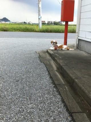郵便ポストが好きなシーズー犬2