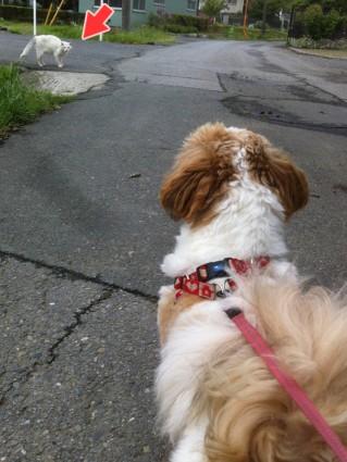 散歩を嫌がる、シーズー犬ぽんず