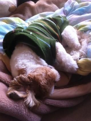 寝ているシーズー犬ぽんず