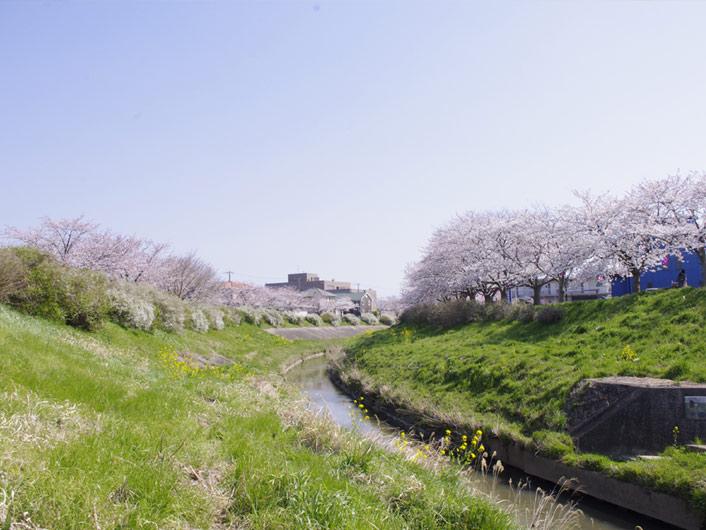 咲き乱れる、満開の桜ぽんずよ!!