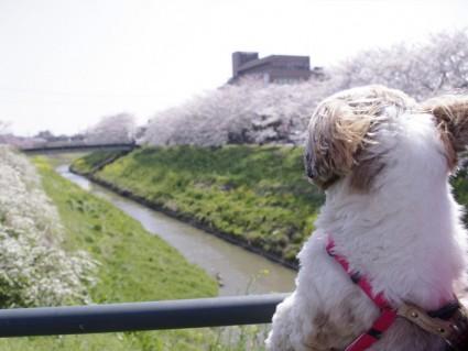 茂原「天の川」の桜並木