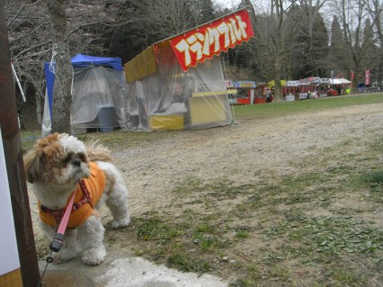 茂原さくら祭りとシーズー犬ぽんず