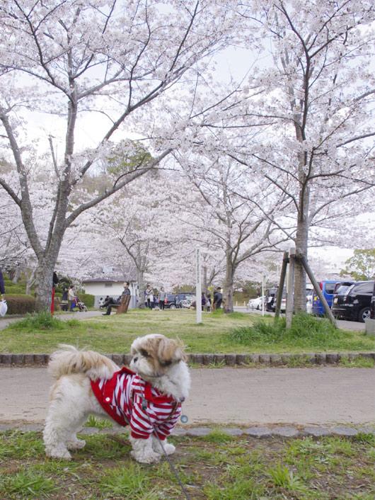 茂原公園『さくら祭り』2012