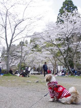 茂原公園『さくら祭り』