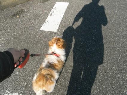 シーズー犬のぽんずと散歩