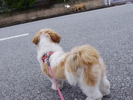 シーズー犬ぽんずと散歩3