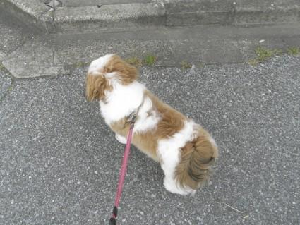 シーズー散歩