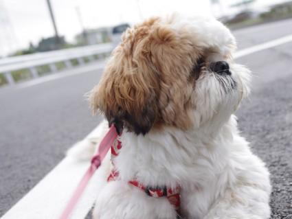 シーズー犬ぽんずと散歩7