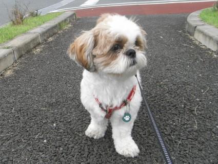 シーズー犬ぽんずと昼散歩