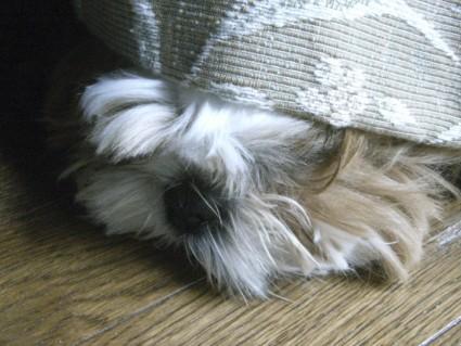隠れるシーズー犬ぽんず