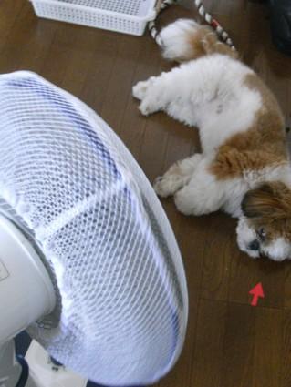 扇風機にあたるシーズー犬のぽんず
