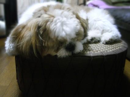 丸イスで寝るシーズー犬のぽんず