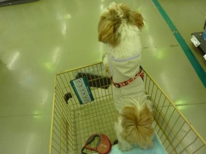 シーズー犬「ぽんず」のもふもふショッピング