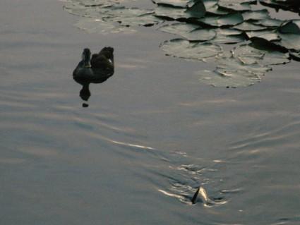昭和の森の鴨