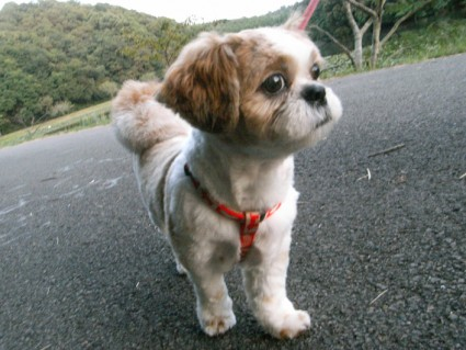 昭和の森を歩くシーズー犬ぽんず