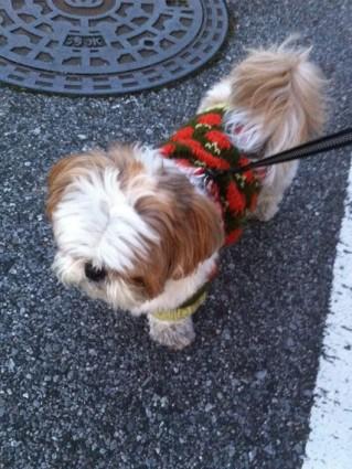 シーズー犬ぽんずと散歩
