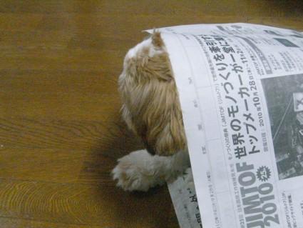 アップ顔のシーズー犬