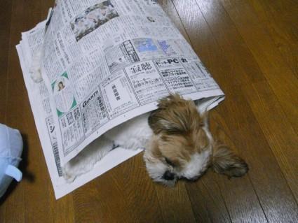 おやすみ中のシーズー犬