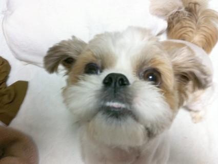 シーズー犬の「下出っ歯」