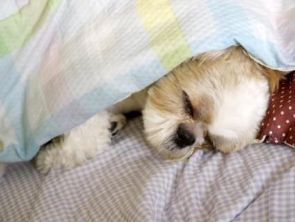 シーズー犬ぽんず、寝顔集