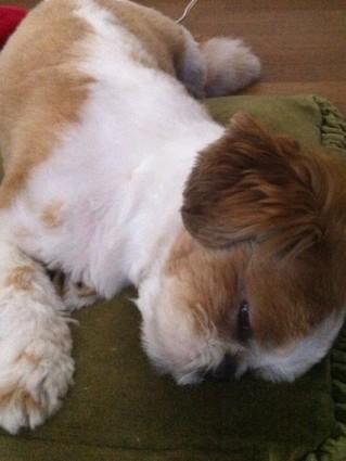 目を開けて寝るシーズー犬ぽんず