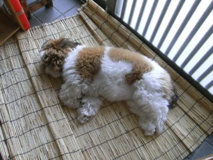 玄関で寝るシーズー犬ぽんず