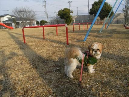 公園に来たシーズー犬「ぽんず」