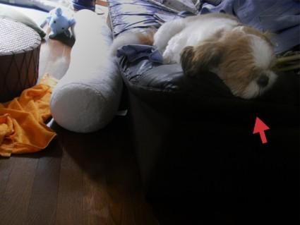 ソファで寝るシーズー犬のぽんず