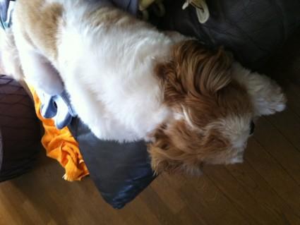 まだ寝てるシーズー犬のぽんず