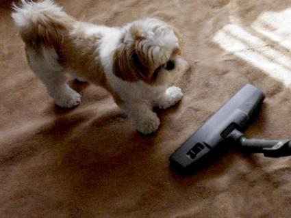 掃除機と戦うシーズー犬ぽんず