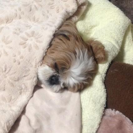 シーズー犬ぽんずの寝顔