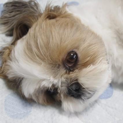 癒しのシーズー犬、寝顔