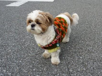 シーズー犬「ぽんず」セーターを着てお散歩