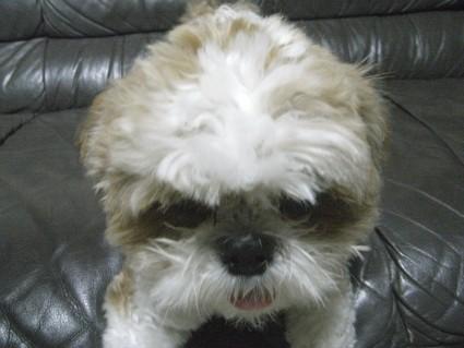 癇癪を起こすシーズー犬、ぽんず
