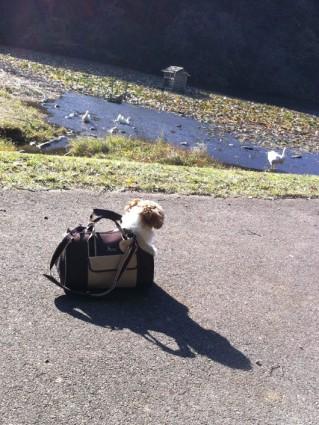 池の前で白鳥に会うぽんず