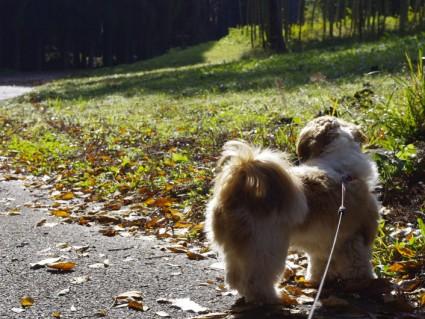 落ち葉とシーズー犬ぽんず