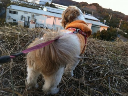 高い所が好きなシーズー犬、ぽんず